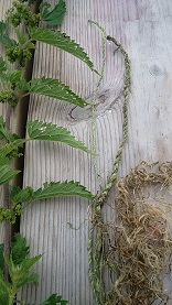 Nettle and cordage