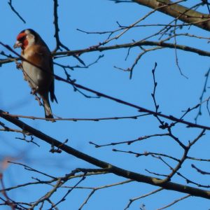 Goldfinch - Tooting Common. 22 January 2017